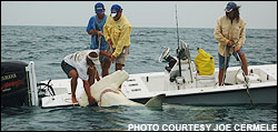 1280 lb. world record hammerhead shark, caught off Boca Grande by angler Bucky Dennis. Capt. Willis has tail roped on bow