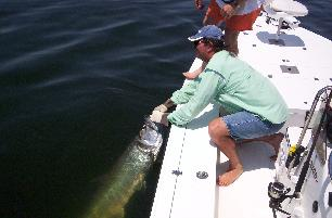 A nice tarpon caught in Charlotte Harbor