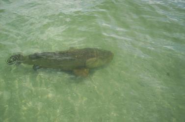 Southwest florida charters florida grouper shark fishing for Port charlotte fishing charters